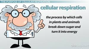 what is the purpose of cellular respiration lesson transcript study com