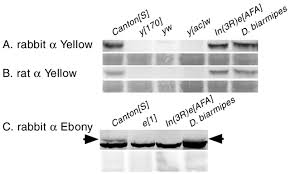 reciprocal functions of the drosophila yellow and ebony proteins figure