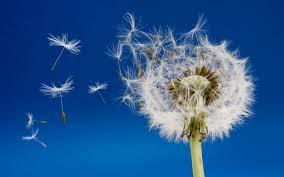 Image result for dandelions images