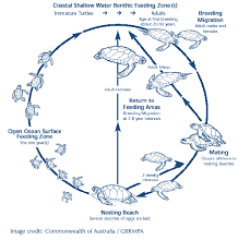 life cycles  sea turtles and turtles on pinterestsea turtle life cycle diagram