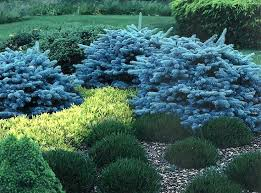 Small Picture 25 best Blue spruce ideas on Pinterest Blue spruce tree