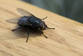 15 home remes to get rid of flies