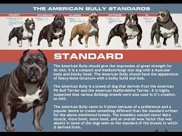 American Bulldog Height Chart Abkc Classes Determine What Class Your Bully Belongs In