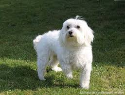 maltese dog. a small maltese dog standing in the grass