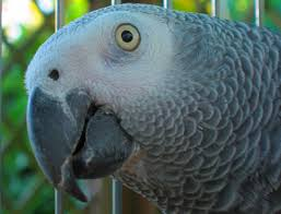 What You Need To Know About Lifespan African Grey Parrot