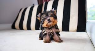 teacup yorkie puppies are incredibly small this teacup yorkie fits in the palm of your