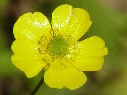 Ranunculus - Wikipedia