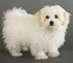 maltese dog. maltese dog breed k