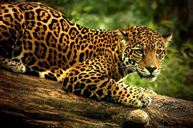 jaguar backgrounds top on wallpapers and pictures backgrounds collection for pc mac tablet laptop mobile