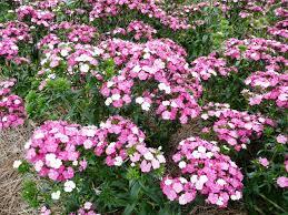 rose magic dianthus