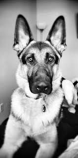 black and white german shepherd photography. Fine White German Shepherd My Boy Remi With Black And White Shepherd Photography