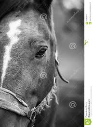 white horse face side. Beautiful Face Face Of A Horse Closeup On The Right Side Frame Black And White Horse Side I
