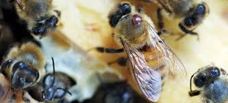 Education Varroa Mite Treatments Mann Lake Blog