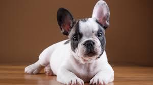 french bulldog puppy wallpaper. Unique Puppy To French Bulldog Puppy Wallpaper