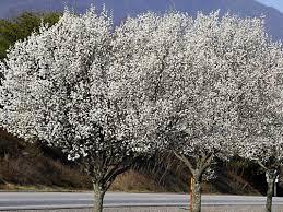 Avocado  WikipediaDo All Pear Trees Bear Fruit