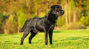 Labrador Size Chart By Age Labrador Food And How To Feed A Labrador A Complete Guide