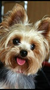 Cute yorkie haircut! Adorable dog ...