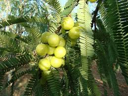 amla plant n gooseberry medicinal uses pictures n gooseberry tree pictures