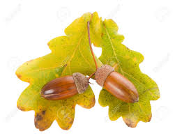 Image result for images acorns oak leaves