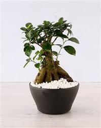 plants ficus bonsai tree