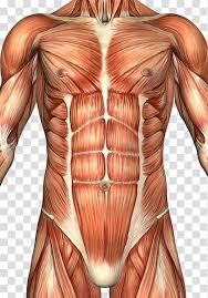Rectus Abdominis Muscle Abdomen Anatomy Human Body Abdominal