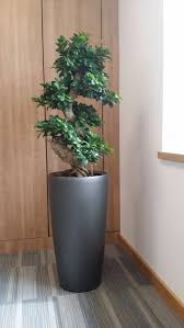 bonsai tree for office. Bonsai Tree For Office. Terrific Office Plant Find This Pin And Care: