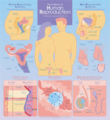 Anatomy Of Human Reproduction Chart