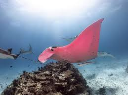 Rare pink manta ray spotted by unsuspecting photographer in Great Barrier  Reef - National