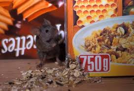 Image result for House Mouse