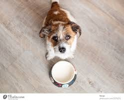 Hungry dog in front of an empty dog bowl - a Royalty Free Stock Photo from  Photocase