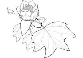 Small Picture Tulip Poplar Flower and Leaf coloring page Free Printable
