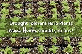 a list of drought tolerant herb plants