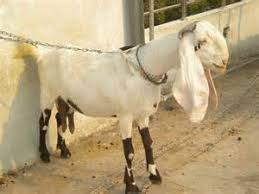 Indian Goat Breeds Vani Farms India