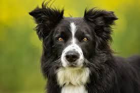 Border Collie, una razza speciale che vi conquisterà - I Miei Animali