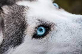 cute husky puppies with blue eyes wallpaper. Brilliant With Closeup Photography Of Siberian Husky And Cute Husky Puppies With Blue Eyes Wallpaper M