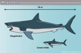 megalodon shark tooth compared to great white. Brilliant White Why Do People Collect Shark Teeth Inside Megalodon Shark Tooth Compared To Great White V