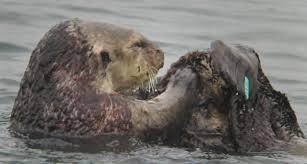 otter algae