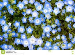 Light Blue Flower Names Baby Blue Eyes Flower Background Scientific Name Nemophila