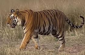 siberian tiger vs bengal tiger. Unique Siberian Bengal Tiger And Siberian Tiger Vs T