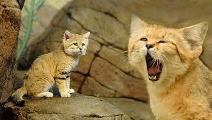 Животные Африки Барханная кошка животные Африки