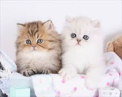 teacup persian cat. Fine Persian Teacup Persians For Sale  Persian Kittens  Cat BreederPreLoved U2013 660 2922222 660 2921126  And T