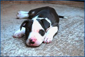 blue nose pitbull puppy dog best wide desktop wallpapers free dog images for background cute pets puffy dogs 1563 1051 wallpaper