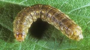 Look Sharp For Granulate Cutworms Growing Produce