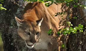 Флорида пантерз (florida panthers) на nhl.ru. Endangered Florida Panther Threatened By Development Project Experts Say Florida The Guardian