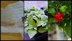 How To Germinate Flower Seeds Paper Towel Ultimate Guide To Growing Hot Peppers From Seed To Harvest