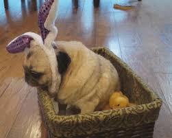 pug gif. Exellent Gif Easter Sunday Lol GIF By Americau0027s Funniest Home Videos Throughout Pug Gif R