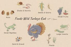 Turkey Feeding Chart What Do Wild Turkeys Eat