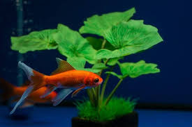 Comet Goldfish Size Lifespan Care Guide And More