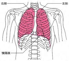「肺」の画像検索結果