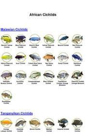 African Cichlid Aggression Chart 564 Best Visse Images Aquarium Fish Tropical Fish